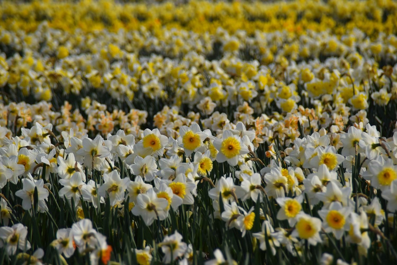 blooming flower fields